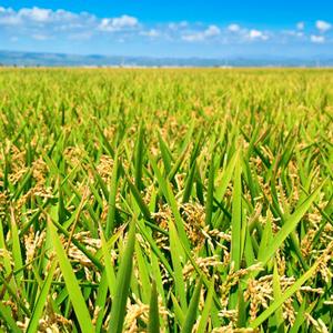 Camp d'arròs