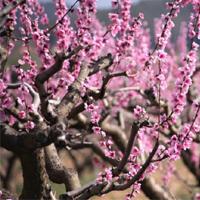 Floració de les vinyes