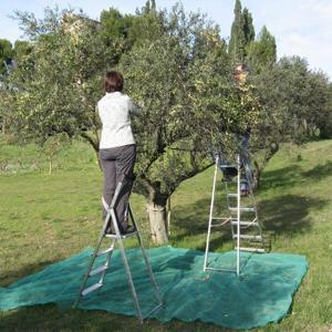 Olives de la Culla