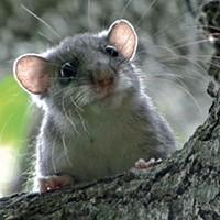 Rata esquirolera