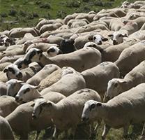 Les ovelles xisquetes són les autòctones del Pallars