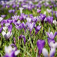 El crocus és una flor que fa aparició a la primavera pirinenca