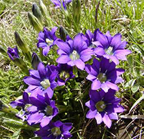 La flor de genciana en el seu moment de floració