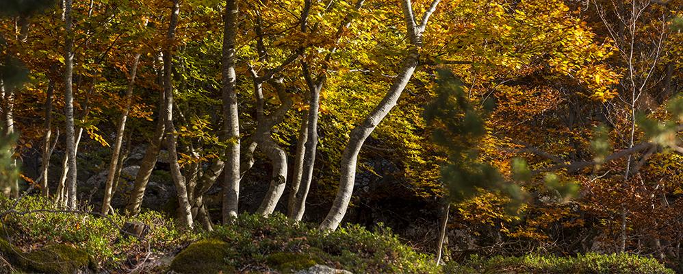 Una imatge del bosc de Virós, al Pallars Sobirà