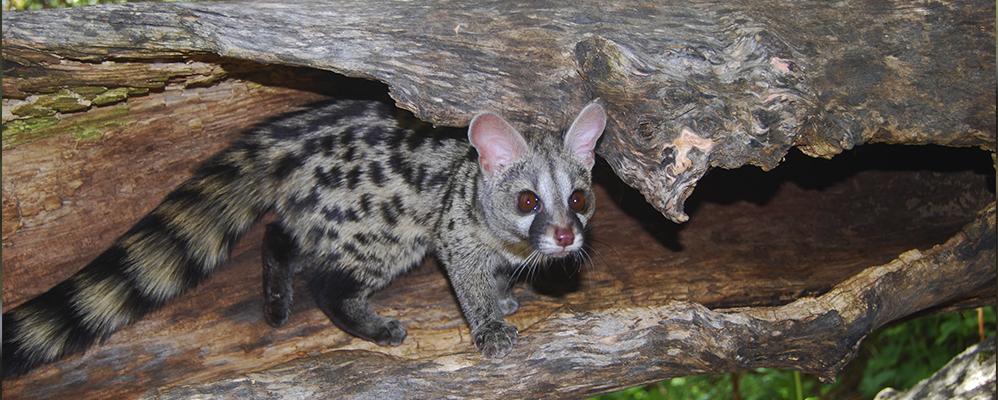 La genenta és un dels animals que podem trobar al Centre de Fauna de MónNatura Pirineus