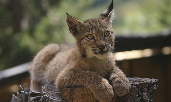 El linx és una de les espècies que es poden veure al Centre de Natura de MónNatura Pirineus