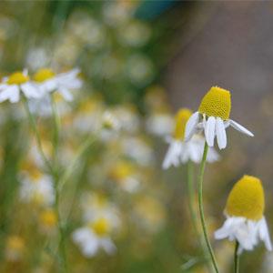 Plantes aromàtiques i medicinals, Camomilla