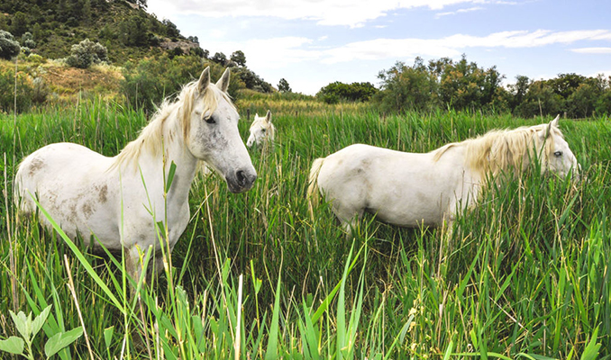 Cavalls