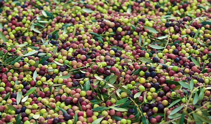 Collita d'olives, a La Fatarella