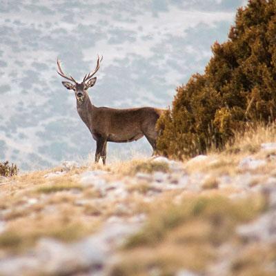 Observació de la brama del cérvol a la Reserva de Boumort