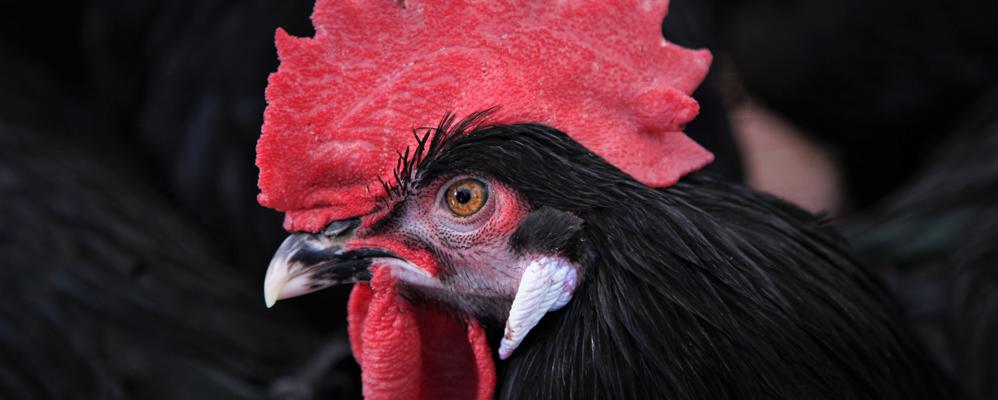 El gall del Penedès