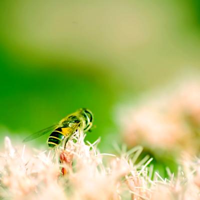 Flor i Vespa, Insecte, Natura