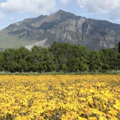 Floració de l'àrnica, Conreus ecològics de TaüllOrgànics, Taüll, 2021
