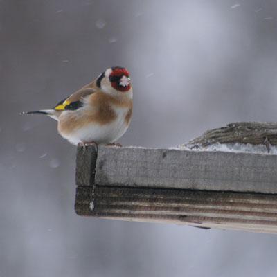 Ocell, Muntanya, Pirineus, MónNautura, Menjadores d'Ocells