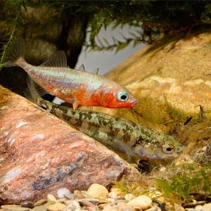 Peix de riu Escanyagats o Espinós
