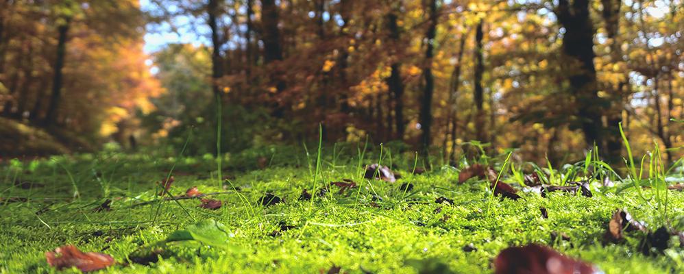 Un bosc tapissat de molsa
