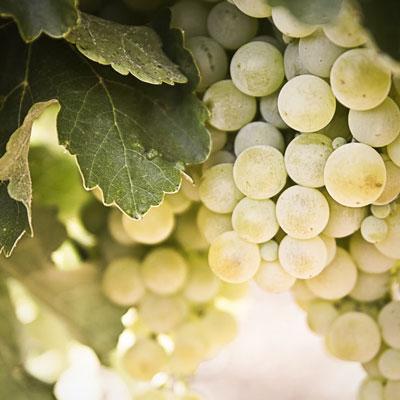 Raïm blanc, verema, vinya