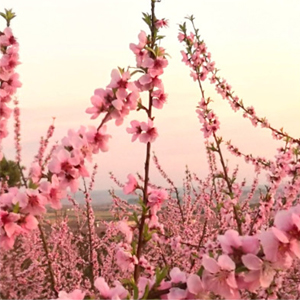 Soses en flor