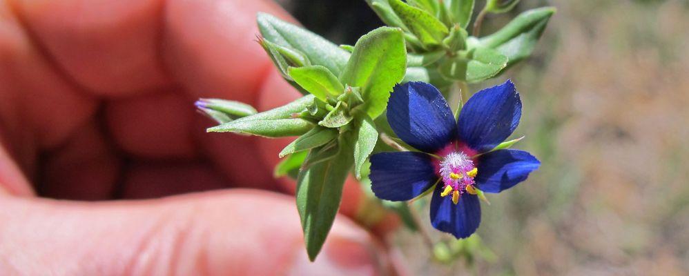 Sortida botànica Picampall - Flor