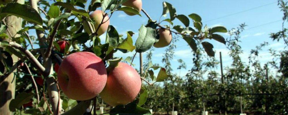 Fira poma